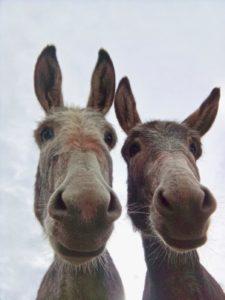 Onze ezels Sjef en Tuffel
